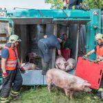Schweinetransport verunfallte auf der A4 bei Erfurt: mehrere Tiere verendet