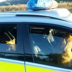 Polizei bringt Schäferhunde auf A38 bei Breitenworbis in Sicherheit