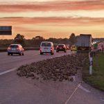 Sattelzug verliert Zuckerrüben auf der A4 bei Erfurt-Vieselbach