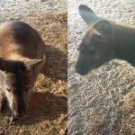 Känguru Jamy ist nach Flucht wegen Hochwasser wieder zurück