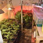 Cannabis-Plantage in Nordhausen aufgeflogen - Dealer festgenommen