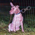 Hunde töten Schafe bei Weimar: Polizei setzt Pfefferspray ein
