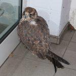 Vor verschlossener Tür: Falke verirrt sich vor Kaufhaus in Schleiz
