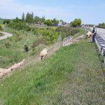 Ausgebüxt: Schafe spazieren bei Erfurt über die Autobahn