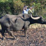 Ausgebüchster Wasserbüffel hält Erfurter Polizei in Atem