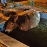 Kein Einbrecher in Schmalkalden: Da steht ein Pferd im Pool!