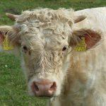 Tierquäler treiben bei Jena ihr Unwesen: Drei Jungbullen tot, sieben weitere verletzt