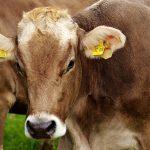 Trächtige Kuh erlag Verletzungen bei Rudolstadt - Zeugenaufruf der Kripo
